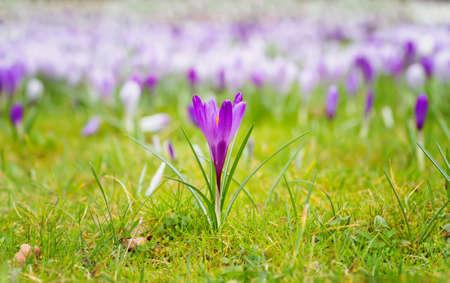 草原に咲くクロッカス 写真素材