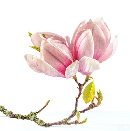 Flowering branch of Magnolia  photo