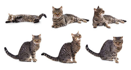 European cat on a white background in different angles  photo
