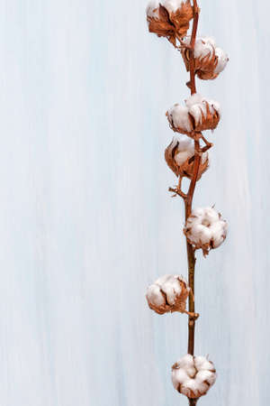 cotton plant: Cotton buds branch
