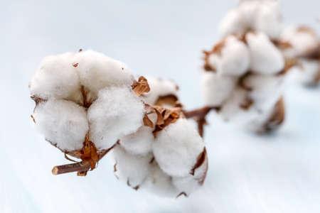 Cotton buds branch  Small Depth of Field  DOF