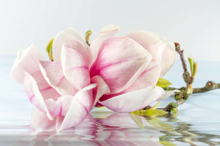 Magnolia flower with reflection in water. Stock Photo