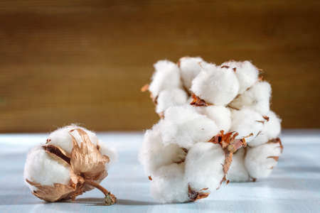 cotton plant: Cotton buds branch   Stock Photo