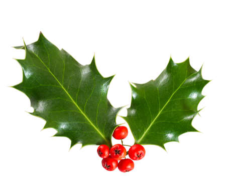fruition: holly leaves and berries isolated on a white background Stock Photo