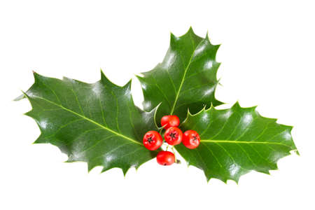 ilex aquifolium holly: holly leaves and berries isolated on a white background Stock Photo
