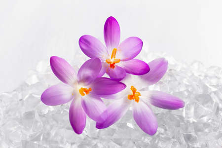 Crocus flowers in the snow Stock Photo - 36574377