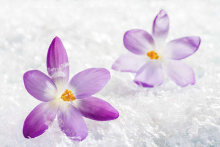 Crocus flowers in the snow photo