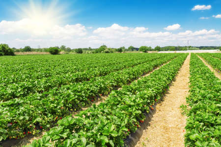 Strawberry plantation on a sunny day 스톡 콘텐츠