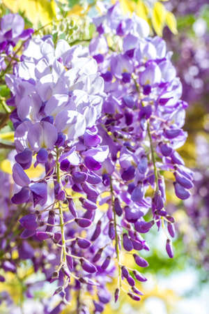 phytology: Spring season. Japanese wisteria flowers. Shallow depth of field. Stock Photo