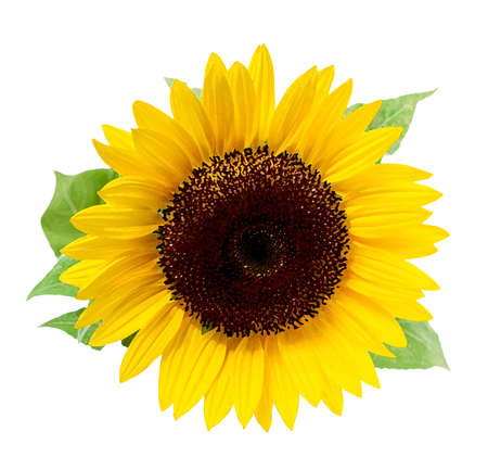 Sunflower, isolated on a white background. Illustration in the style of watercolor paintings.