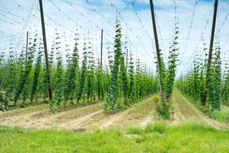 hopgarden: Hops Field in France. Organic Plantation of Hops