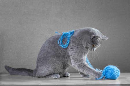 Gato azul británico que juega con la bola del hilado