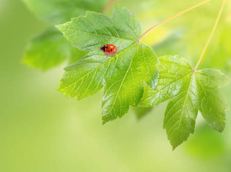 Decorative background with ladybug on maple leaves. Zdjęcie Seryjne