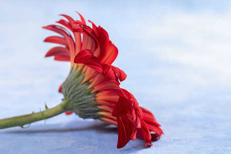 Red Gerbera on a blue background
