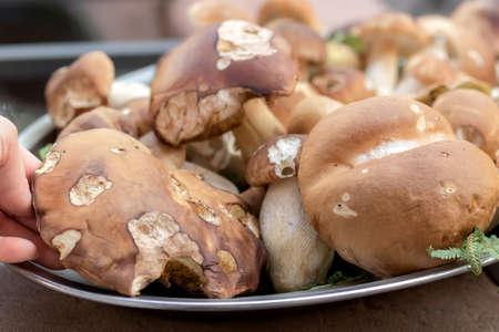 Boletus edulis. Boletus edulis is edible mushroom.