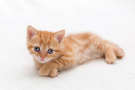 Small, cute orange British kitten Reklamní fotografie