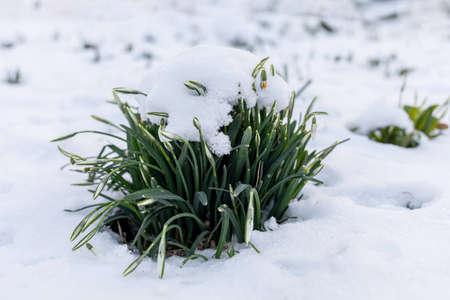 Spring crocuses in the snow Germany. Baden-Baden