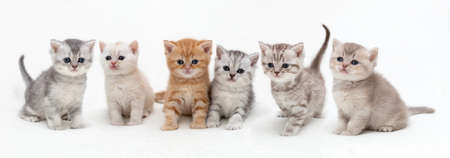 British shorthair kittens on a light background . Panoramic image