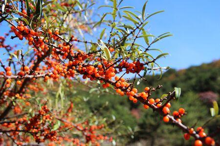 mountain cranberry: sea buckthorn fruits, Taihang mountain Stock Photo