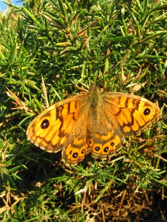 basking: Wall Brown butterfly basking