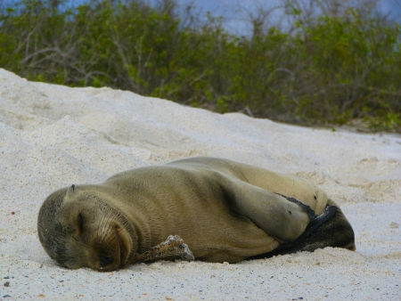 The Baby Sea Lion is lying horizontal along the sand with his face and belly facing me photo