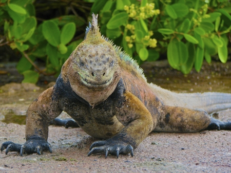 The Marine Iguana looks like he is ready for action as he stares at the camera   It looks like he has a grin on his face