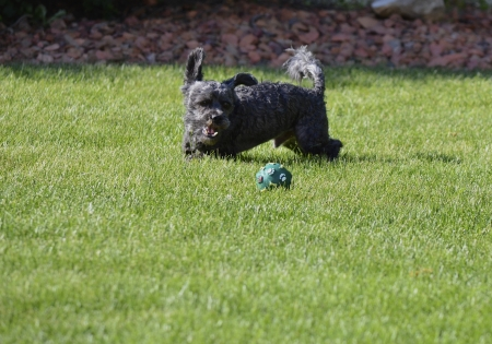 A small black dog is about to attack a green ball