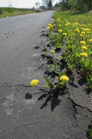 Dandelions are starting to grow through the cracks of pavement on a walking trail  the trail blurs in the distance showing the sky and some trees  Imagens