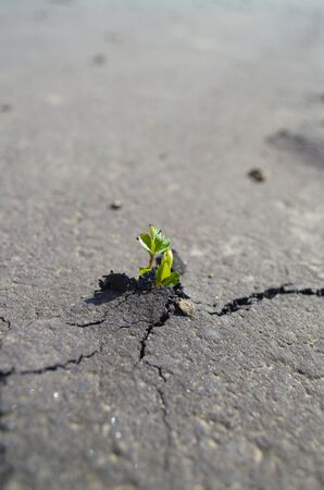 crack: a young plant breaks through on a paved walking trail. focus on the plant a cracked pavement with the pavement blurred in the distance. Stock Photo