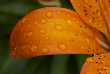 Close up of a Lilly petal with rain droplets Imagens