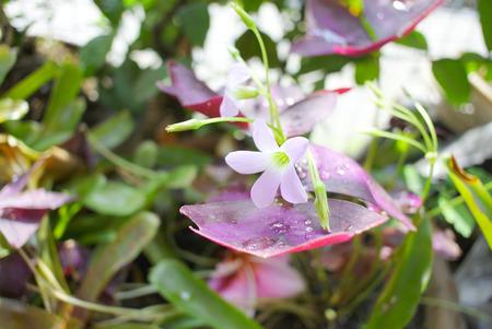 Oxalis triangularis (Purple shamrock) photo
