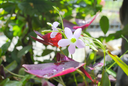 Oxalis triangularis (Purple shamrock) photo