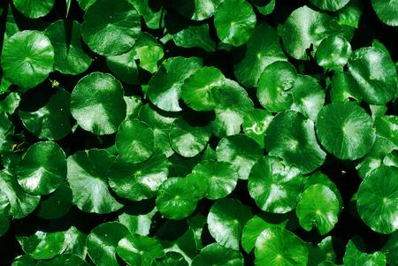 asiatica: Water Pennywort, Centella asiatica background