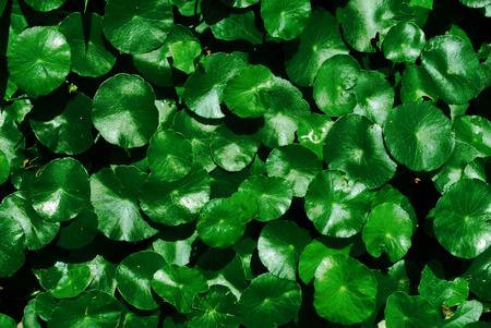 longevity medicine: Water Pennywort, Centella asiatica background