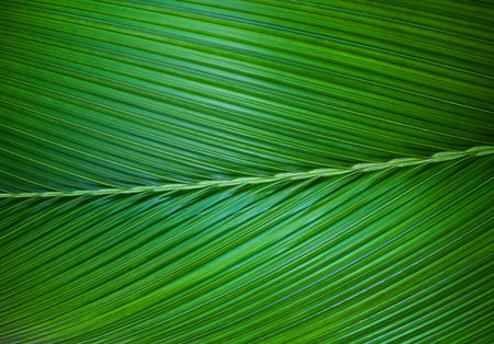 Close up of Palm leaf green background.