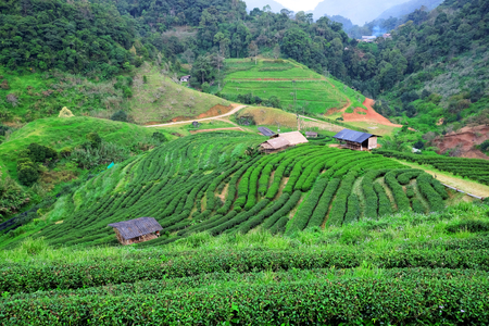Tea plantations after rain in Chiang Mai, Thailand. Banque d'images - 123549446