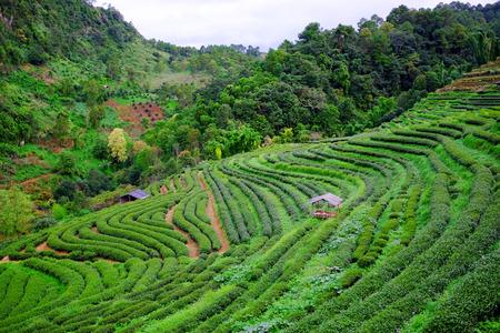 Tea plantations after rain in Chiang Mai, Thailand. 免版税图像