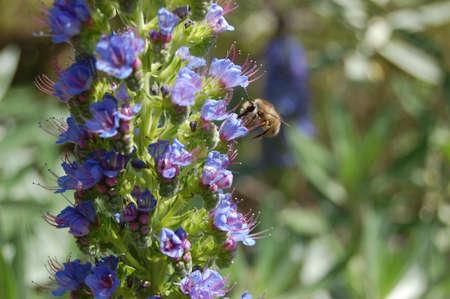 propolis: bee on flower