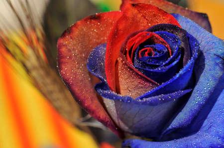 Closeup of a red rose for Sant Jordi diada, traditional love festivity on 23 April, Catalan Culture