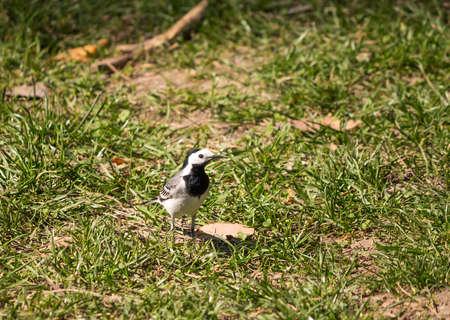 white bird: Black and white bird on spring grass