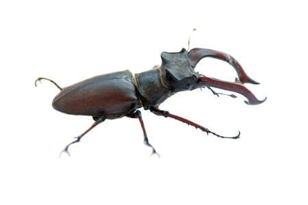 predatory insect: Stag beetle on a white background isolated