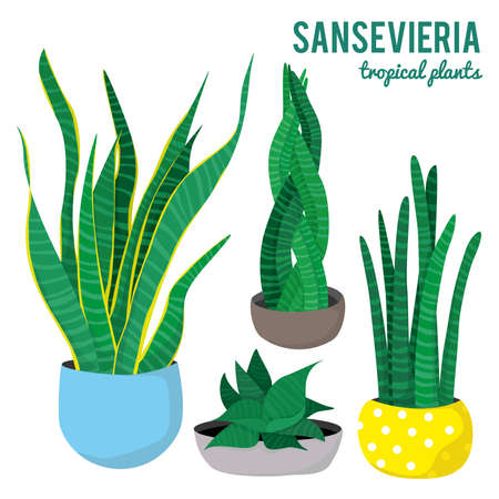 Sansevieria plants in ceramic pots different shapes on white background isolated vectors