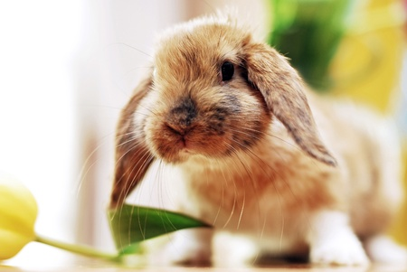 cute little rabbit with tulips Stock Photo - 13038329