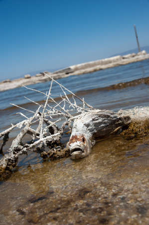 Dead fish in the salton sea photo