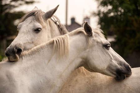 connemara: Connemara ponies grooming each other