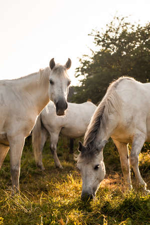 Connemara ponies gazing at sunset
