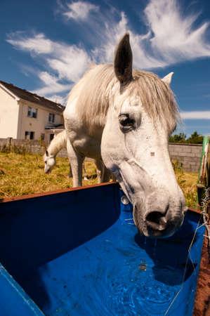 connemara: Connemara pony drinking water
