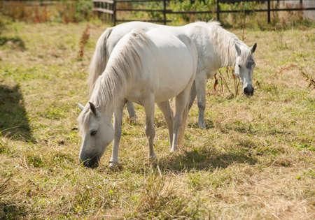 connemara: Connemara ponies grazing in a field