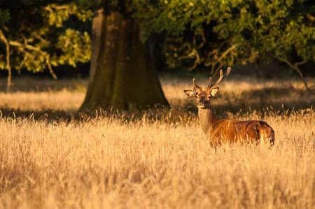 red deer: deer at sunset