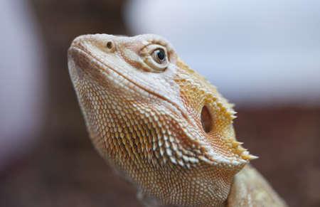bearded dragon lizard: Bearded dragon lizard